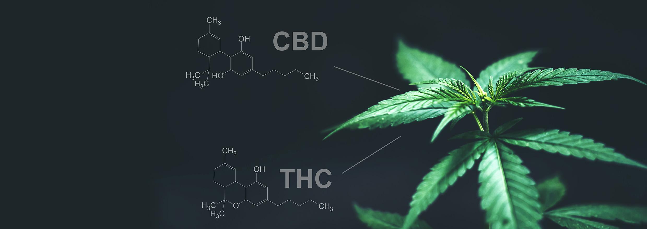 THC or CBD